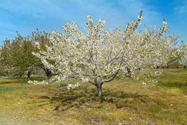 Finalizando la floración en el Valle del Jerte